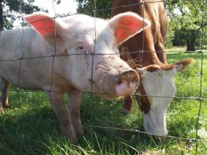 [strefazdrowie.pl] Hodowla zwierząt - nadużywanie antybiotyków