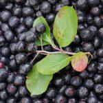 Aronia – cudowny owoc na wiele chorób